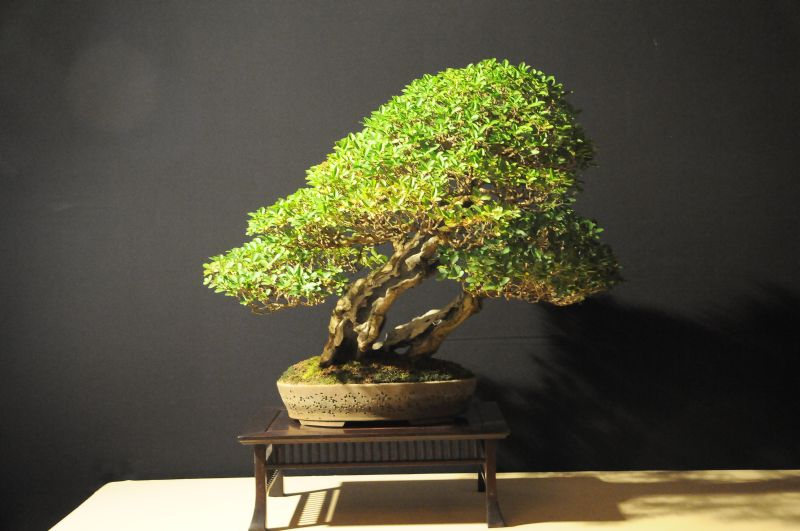 Italian bonsai dream show for Bonsai italia