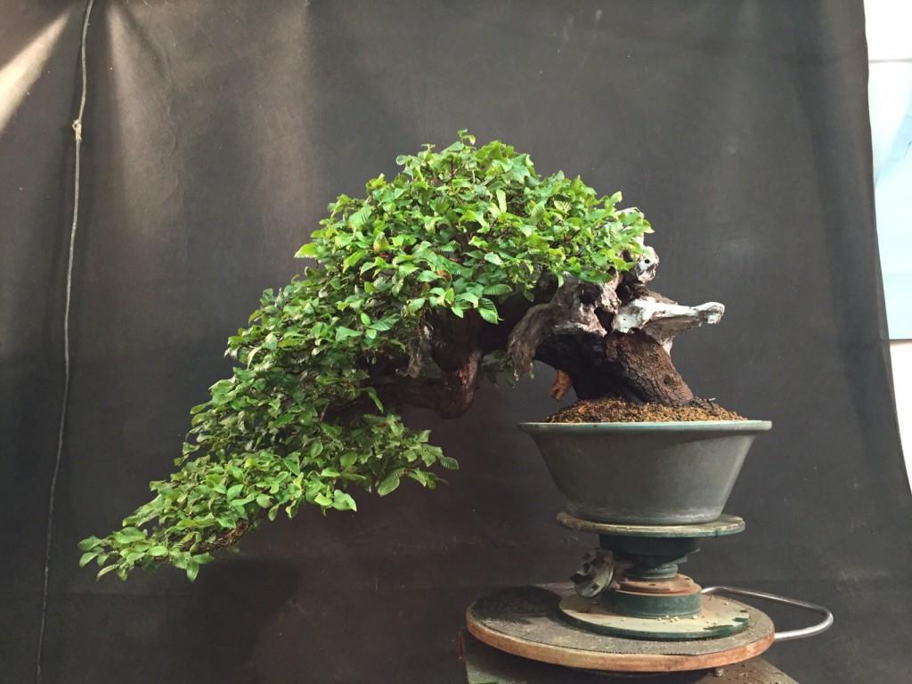 My trees for Bonsai italia