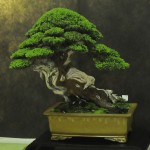 UBI_Bonsai_2013_03