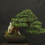 UBI_Bonsai_2013_05
