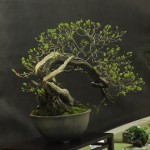 UBI_Bonsai_2013_14