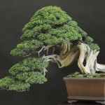 UBI_Bonsai_2013_16